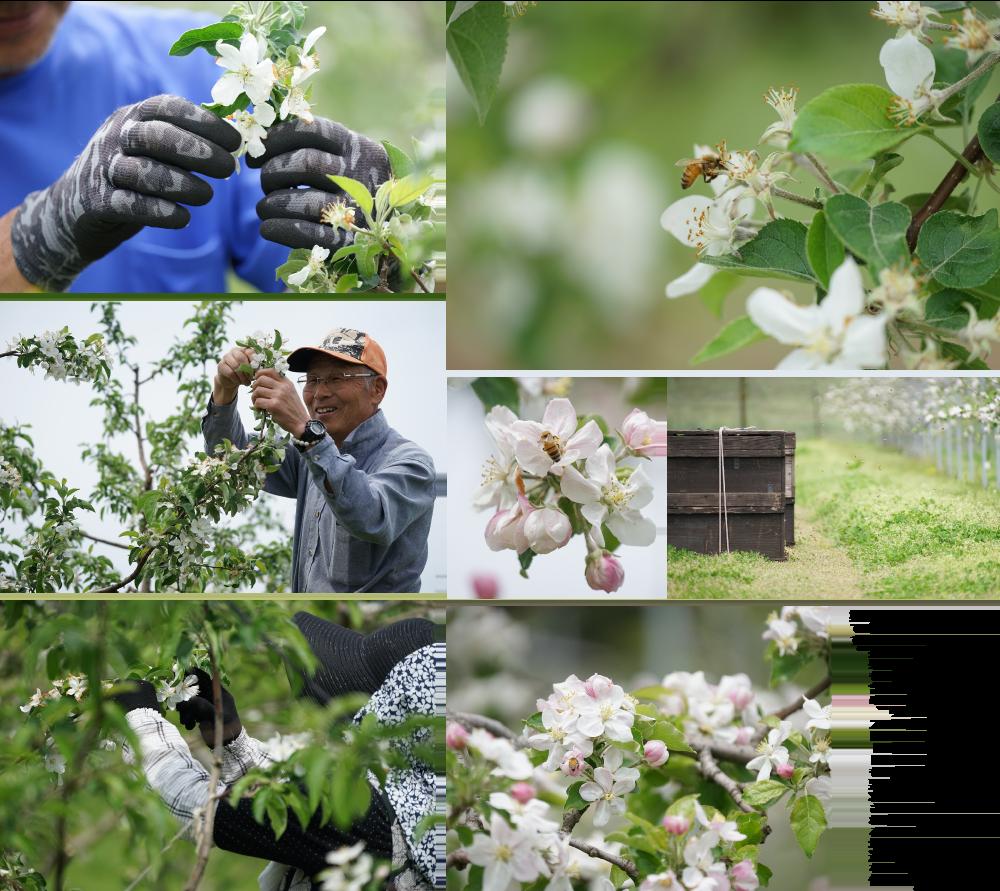 農場に置かれた巣箱にはミツバチやマメコバチが住んでおり、受粉作業を手伝ってくれます。ミツバチはおそよ2㎞もの範囲で受粉作業をすると言われます。同時に余分な花を摘む摘花作業が行われます。長年の経験と感覚で実りをイメージしながらの作業。約4000本あまりある木を手作業で進める為、この後の摘果も含め、スピードも要求される地道な作業です。