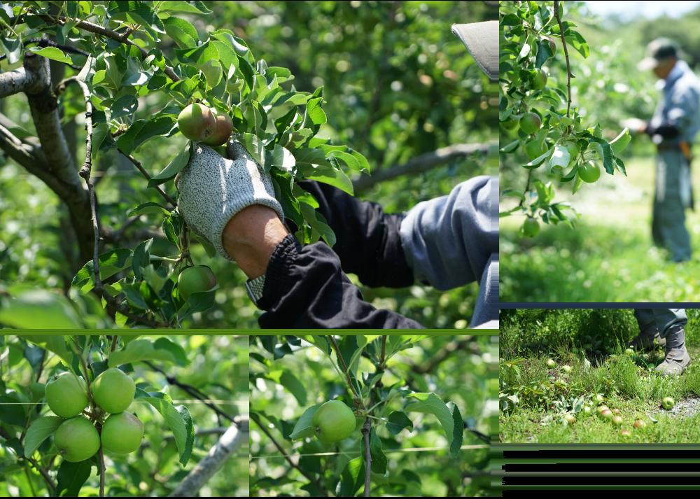 りんごの実が一箇所に3〜4個ずつ実ります。その中から1つを残し、他の実は摘み取ってしまいます。美味しいりんごに育つようにする為の大事な仕上げ摘果の作業です。