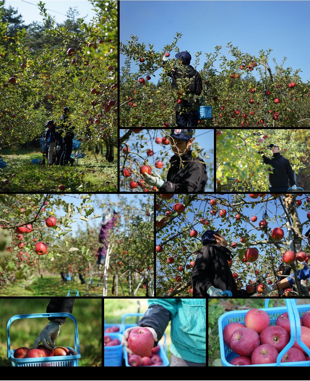 成熟したりんごの木には、1本で50個以上の美味しいりんごが実ります。品種によって実りの時期が様々なので、8月下旬から11月までりんごの収穫がつづき日本全国に岩渕ファームの美味しいりんごが届きはじめます。1年をかけて木を愛で、大きく育ったりんごの実を、スタッフ全員で収穫できることに幸せを感じながら毎年この収穫期を迎えています。